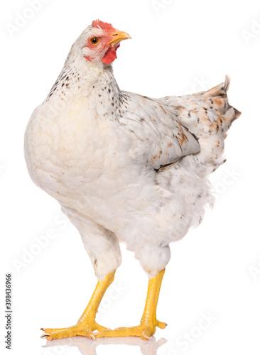 Fotografija one white chicken isolated on white background, studio shoot