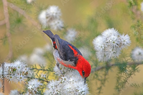 Fotografia male scarlet honeyeater on white flower - kunzea ambigua - tick bush