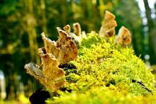 Baumpilze Mit Moos Wachsen Auf Einem Baumstumpf