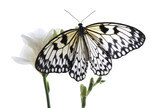 Beautiful rice paper butterfly sitting on freesia flower against white background
