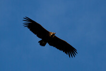 Low Angle Shot Of Cinereous Vulture Flying Against A Blue Sky