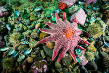 Spiny Sunstar Underwater In The St. Lawrence Estuary In Canada