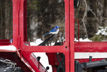 Blue Jay On Farm Tractor Steering Wheel During Winter
