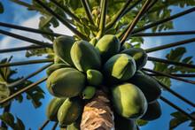 Fruit Loaded Papaya Tree