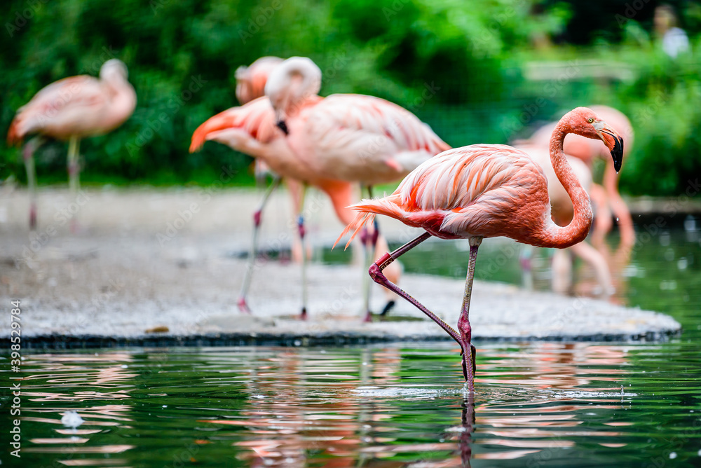 Fototapeta The greater flamingo (Phoenicopterus roseus) is the most widespread and largest species of the flamingo family.