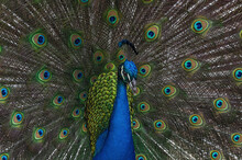 Beautiful Indian Peacock (Pavo Cristatus) With Tail Feathers In Full Display.