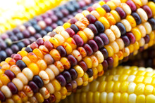 Ear Of Colored Corn Close Up
