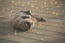 Playful British Shorthair Cat Upside Down Rolling Over Yellow Leaves On A Garden Decking In A House In Edinburgh City, Scotland, UK