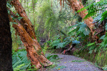 New Zealand Rain Forest Dense And Dark With Path Between Ferns And Trees