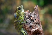 Angle Head Lizard Hanging On A Tree