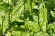Closeup Shot Of Green Fresh Basil Leaves
