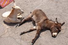 Sleeping Mules On The Road In Oatman Arizona