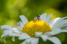 Beetle Sucking Nectar On A Flower In The Garden