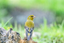 A Greenfinch Sitting On A Tree Trunk, Looks Back At The Camera, Close-up