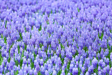 Flower, Muscari Botryoides