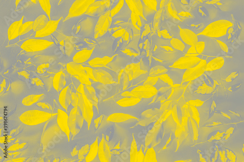 close-up-background-of-benjamin-ficus-leaves-tinted-in-the-colors-of-the-year-2021-according-to-pantone-s-version-of-illuminating-yellow-and-ultimate-gray-soft-selective-focus-blurred