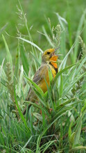 Cape Longclaw (Macronyx Capensis) Singing In Grassland, Rietvlei Nature Reserve, Gauteng, South Africa