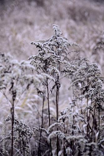 Nawłocie suche kwiaty zimą tło vintage