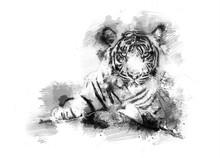 Tiger Auf Einer Safari Als Artwork, Skizze