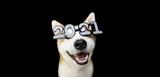 Fototapeta Zwierzęta - Akita dog celebrating happy new year with 2021 text glasses costume. Isolated on black background.