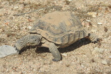 Desert Tortoise, Mojave Desert, California. This Amazing Reptile Emerged From Her Burrow, Ready To Eat.  She Munched On Patches Of Desert Grass Protruding From The Pebbles Of Sand.