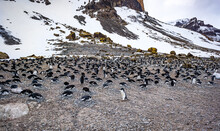 Antarctica's Adele Penguin Nesting Colony Consisting Of Hundreds Of Pairs Of Birds