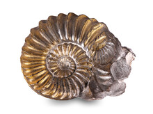 Fossilized Snail In The Stone, Ammonite