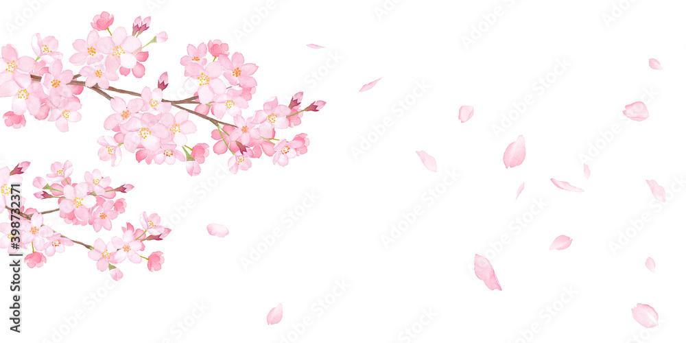 Fototapeta 春の花:さくらと散る花びらのバナー背景。水彩イラストのトレースベクター。レイアウト変更可能。アシンメトリー。