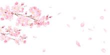 春の花:さくらと散る花びらのバナー背景。水彩イラストのトレースベクター。レイアウト変更可能。アシンメトリー。