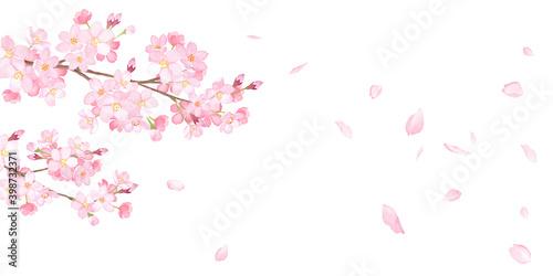 Fototapeta 春の花:さくらと散る花びらのバナー背景。水彩イラストのトレースベクター。レイアウト変更可能。アシンメトリー。 obraz