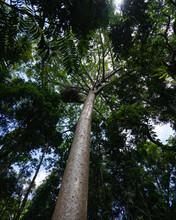 Kauri Tree In A Dense Lush Tropical Rainforest Canopy