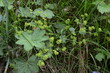 Przywrotnik pasterski, liście i kwiaty, Alchemilla monticola