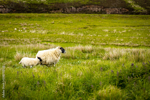 Sheep on the Isle of Skye,  known for its rugged landscapes, picturesque fishing villages and medieval castles