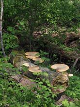 The Dryads Saddle (Polyporus Squamosus) Is An Edible Mushroom