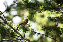 European Songbird Arctic Warbler, Phylloscopus Borealis Singing On A Summer Day In Coniferous Taiga Forest Near Kuusamo, Northern Finland.