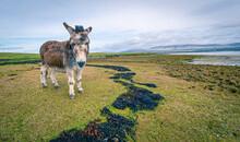 Donkey In Rural Ireland