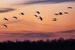 sandhill cranes in sunset