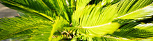 (Selective Focus) Stunning View Of A Green Cycas Plant. Cycas Revoluta (sago Palm, King Sago, Sago Cycad, Japanese Sago Palm), Is A Species In The Family Cycadaceae, Native To Southern Japan.