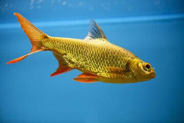 Red-tailed bream barb in an aquarium on a blue background (Puntius schwanenfeldii, Barbonymus). Tinfoil barb
