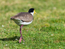 Masked Lapwing Also Known As A Plover