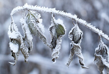 Branch With Beautiful Dry Twisted Leaves With Snow Ice On A Winter Frosty Day
