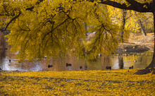 Gingko Tree During Autumn Just Before Losing Leaves - Leaf Peeping. Autumn In City Of Poznań, In Poland.