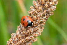 Ladybug, (coccinella Septempunctata) A Red Beetle With Seven Spots Resting On A Grass Seed Wheat Stem Plant Din Spring Summer Commonly Known As A Ladybird Or Lady Beetle, Macro Close Up Stock Photo