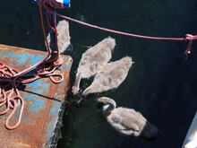 Young Swan Cubs Swim In A Port