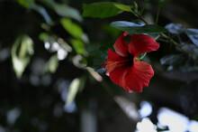 Dark Red Hibiscus In The Botanical Garden, Deep Red Flower