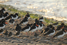 A Group Of Oystercatchers Sits At The Sea Dyke Of The Westerschelde Sea With High Tide At A Sunny Day In Autumn In The Netherlands Along The Water's Edge