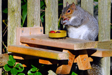 A Fat Female Gray Squirrel Eating Red Grapes At A Backyard Wooden Picnic Table For Squirrels Mounted On A Garden Fence
