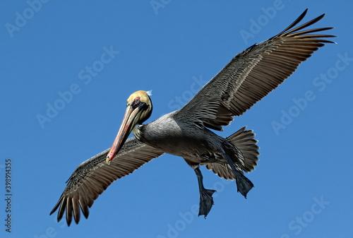 Foto Brown pelican in flight