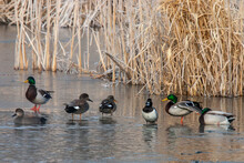 Gadwal, Scaup, And Mallards Resting On The Ice In A Cattail Marsh