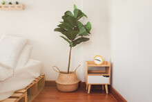 Ficus Lyrata Or Fiddle Leaf Fig In Rattan Basket, Tree For Purifying The Air In Modern Interior Room, On White Bedroom Background Texture.